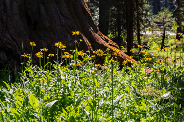 Wild Cutleaf Coneflowers in Sequoia National Park Photograph For Sale As Fine Art