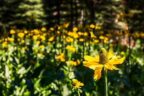 Meadow of Wild Cutleaf Coneflowers Photographs for sale as fine art