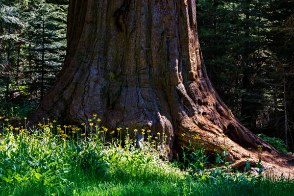 Cutleaf Coneflowers At The Base of A Sequoia Tree Photograph For Sale As Fine Art