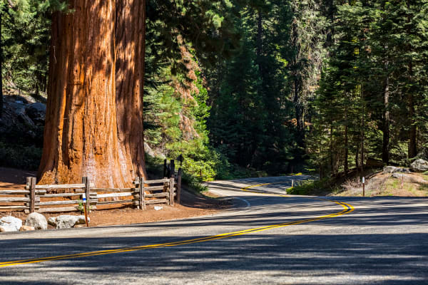 Sequoia Tree Along Generals Highway Photograph For Sale As Fine Art