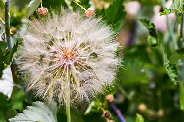 Macro Dandelion Seed Pod Photograph For Sale As Fine Art