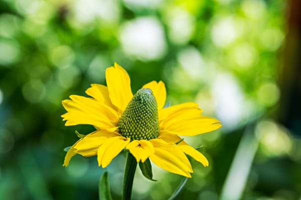 Young Cutleaf Coneflower Photograph For Sale As Fine Art