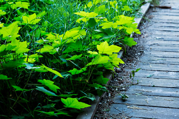 Green Leaves Along Pathway Photograph for sale as Fine Art