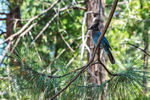 Steller's Jay in a Tree in Kings Canyon National Park Photograph For Sale As Fine Art
