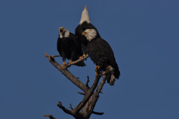 3 Eagles Perching on a Tree  One Squawking - MH Photography