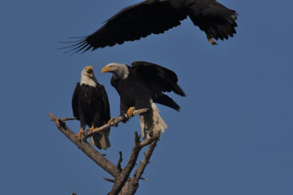 Three Eagles on Branch - One Flying Off - MH Photography