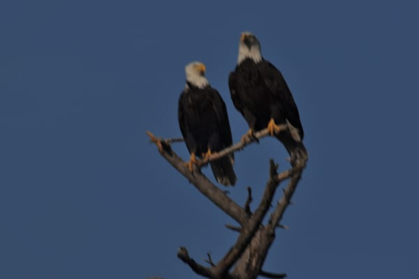 Two Eagles Still Squawking on Tree - MH Photography