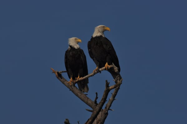 eagles perching