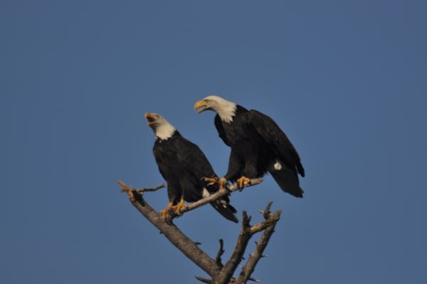 Squawking Eagles Perching on a Tree - MH Photography
