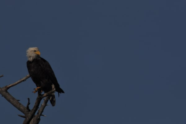 Solo Eagle Perching on a Tree - MH Photography
