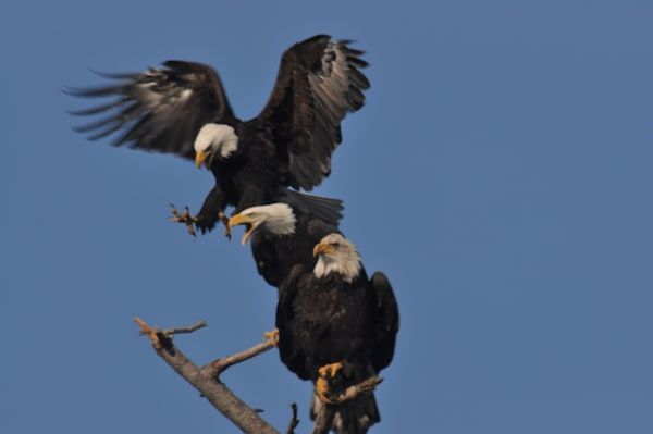 3 Bald Eagles on a Branch - #1249507 - MH Photography