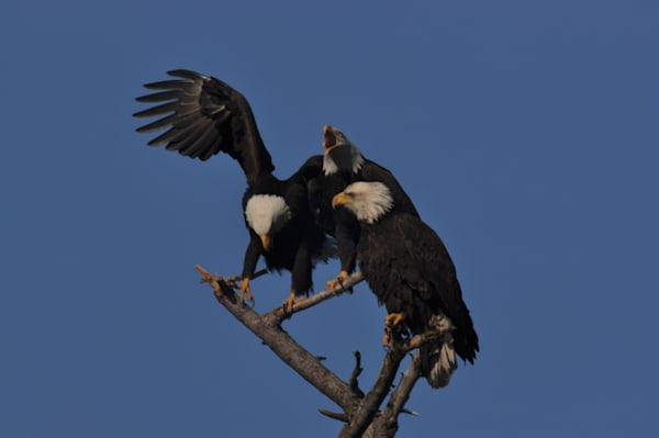 Second Eagle Landing on Tree - MH Photography