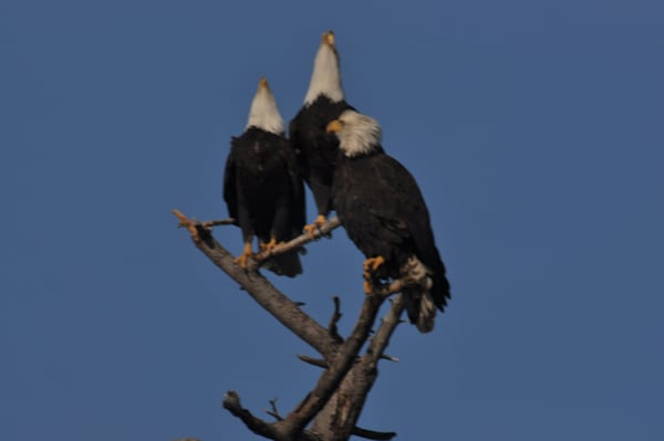 3 Bald Eagles Perching on a Tree - MH Photography