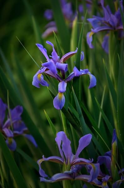 German Iris #1