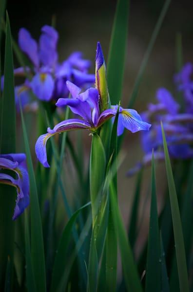 German Iris #2