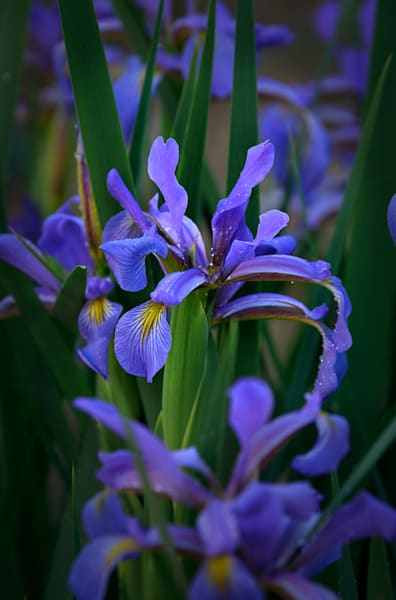 German Iris #3