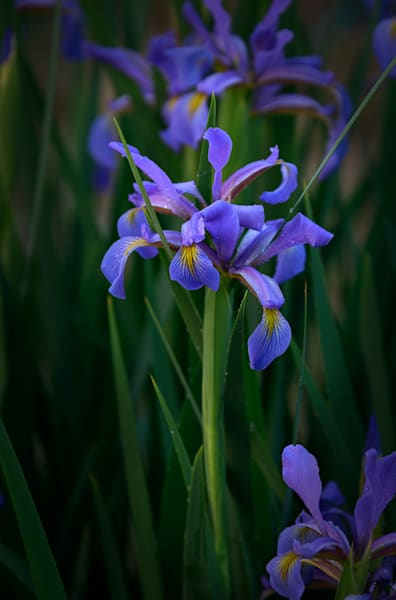 German Iris #4