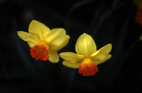 Two Yellow Daffodills