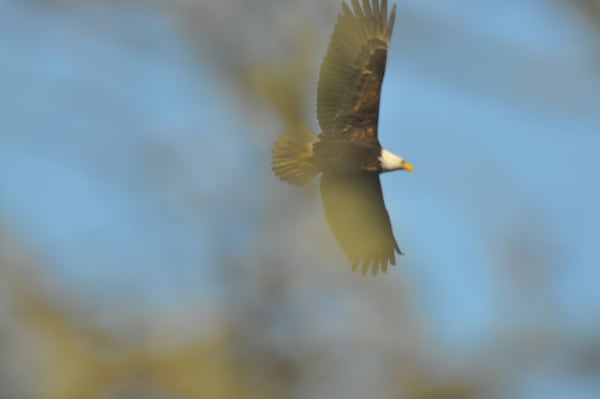 Bald Eagle Flying Through Trees - MH Photography