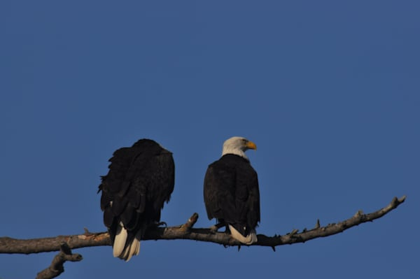 Two Eagles Perching - Product #1251544 - MH Photography