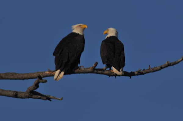 Two Eagles Looking at Each Other - MH Photography