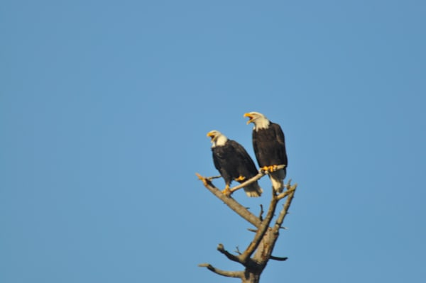 Two Eagles Squawking on a Tree - MH Photography