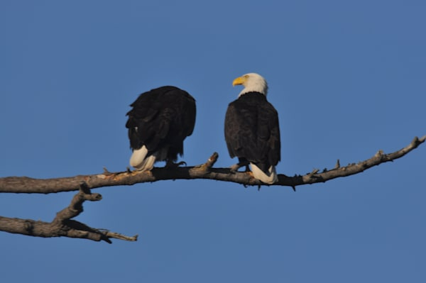 Two Eagles Perching - Product #1251561