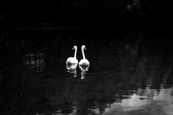 Black & white swans wildlife photograph for sale as fine art | Sage & Balm Photography
