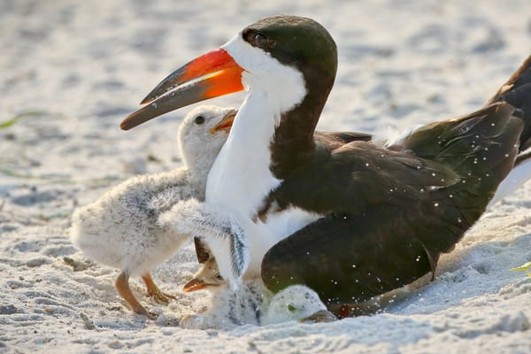 Baby Black Skimmer chick hugging its mother | Navarre Beach, Florida | Fine Art Prints on Canvas, Paper, Metal, & More | Waldorff Photography