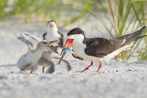 Black Skimmer chicks squabbling over breakfast | Pensacola Beach, Florida | Fine Art Prints on Canvas, Paper, Metal, & More | Waldorff Photography