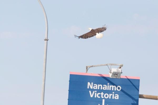 Tsawwassen Terminal Eagles - Photo #1259687 - MH Photography