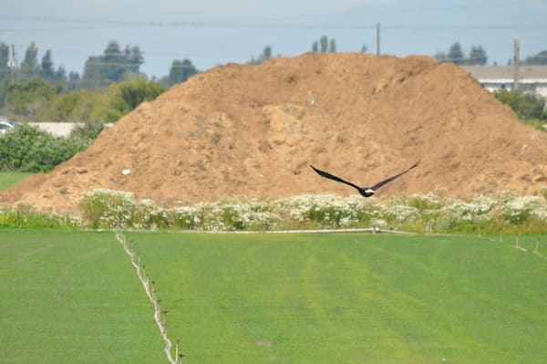 Eagle Flying Over Farmers Field