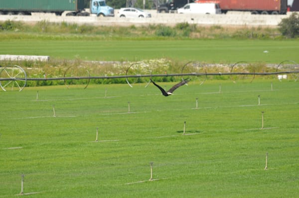 Eagle Flying Over Field - Product #1259694 - MH Photography