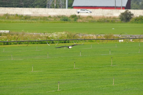 Eagle Flying Over Farms - Photo #1259695 - MH Photography