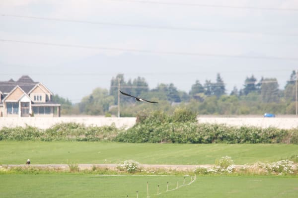 Bald Eagle Flying - Delta BC - MH Photography