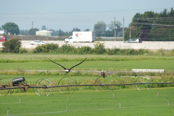 Image 7 of Series - Eagle Flying Over Farm Land - MH Photography