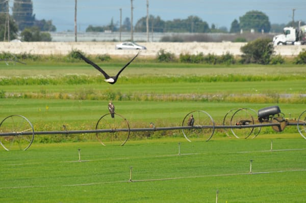 American Bald Eagle Flying Over Farmer's Field - MH Photography