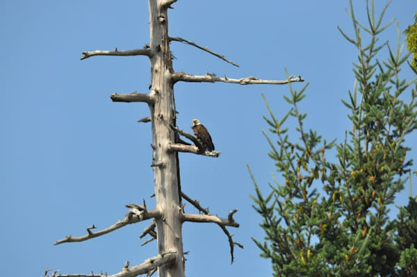 Bald Eagle Calling out From Tree - MH Photography
