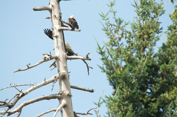 Second Eagle Returning to Pine Tree - MH Photography