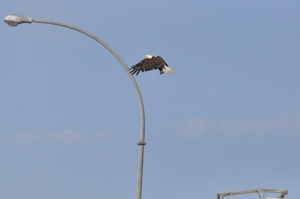 Tsawwassen Terminal Eagles - Photo #1259719 - MH Photography