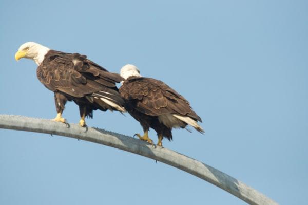 Tsawwassen Eagles Perching - Photo #1259724 - MH Photography
