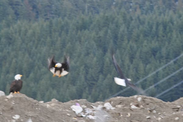 Eagles Flying near Squamish Airport - MH Photography