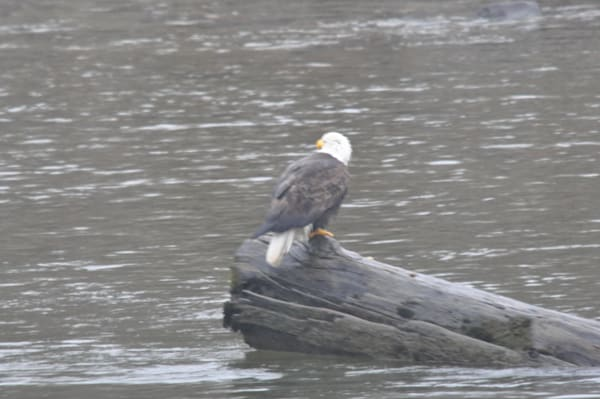 Eagle Perching on Log in River - MH Photography