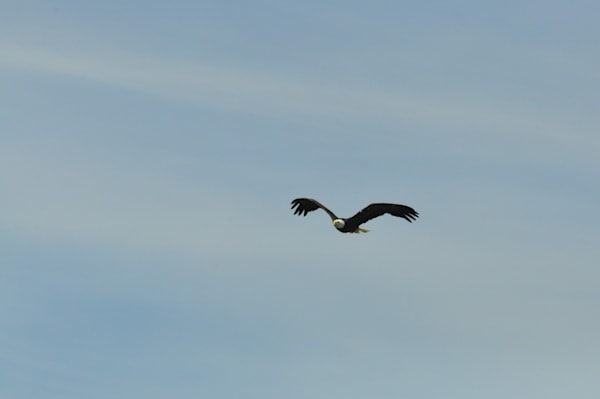 Soaring Eagle- Beauty in Flight 2 - MH Photography