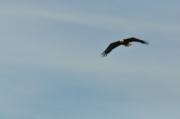 Solitary Bald Eagle Soaring - MH Photography