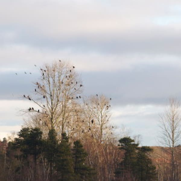 Tree Full of Eagles - MH Photography