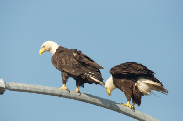 Two Eagles in Tsawwassen - Photo #1259752 - MH Photography