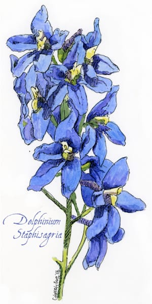 July - Larkspur