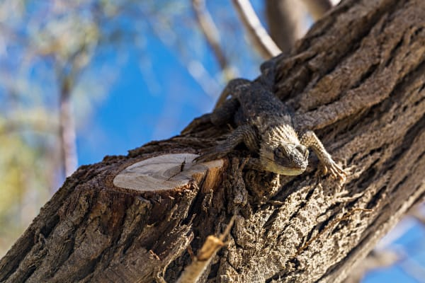 Desert Spiny Lizard At Salton Sea Photograph For Sale As Fine Art