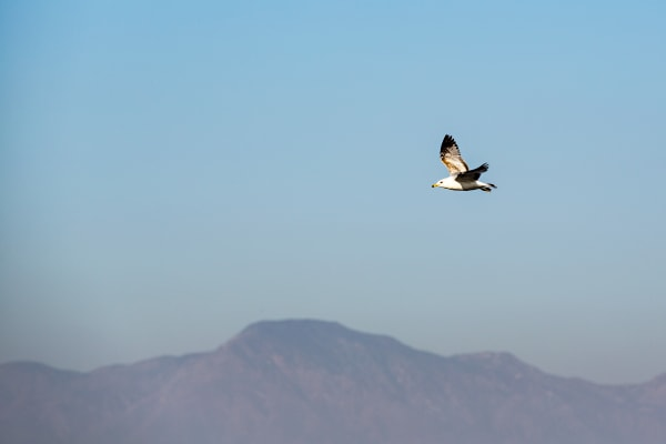 Ring-Billed Gull At Salton Sea Photograph For Sale As Fine Art